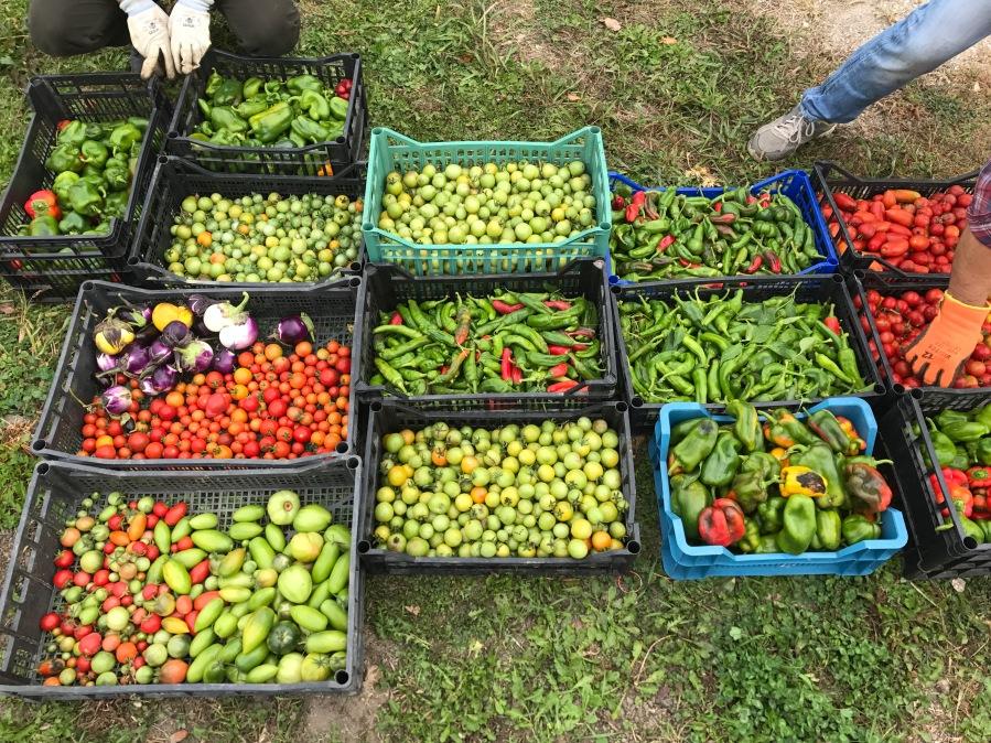 Didactic Garden & Green TomatoChutney